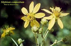 Silphium compositum