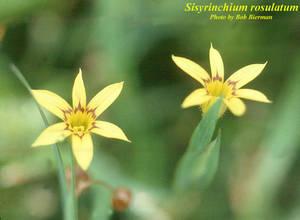 Sisyrinchium rosulatum