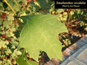 Smallanthus uvedalia