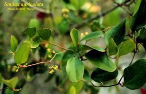 Smilax auriculata
