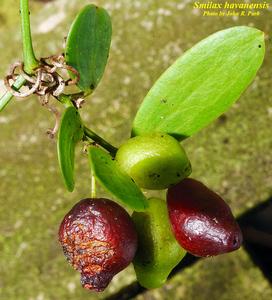 Smilax havanensis