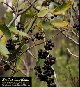 Smilax laurifolia