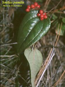 Smilax pumila