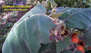 Solanum candidum