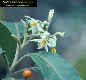 Solanum donianum