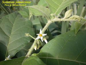 Solanum jamaicense