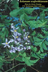 Solanum seaforthianum