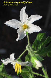 Solanum sisymbriifolium