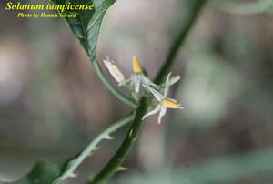 Solanum tampicense