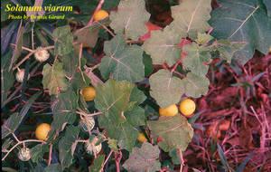 Solanum viarum