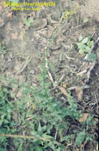 Solidago brachyphylla