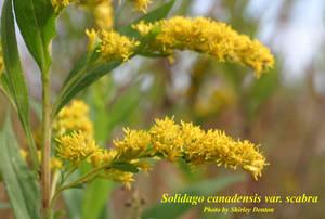 Solidago canadensis var. scabra