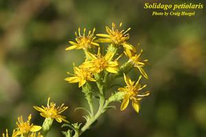 Solidago petiolaris