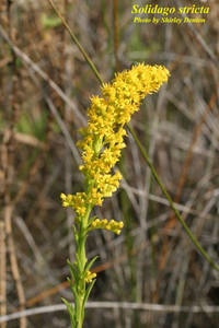 Solidago stricta