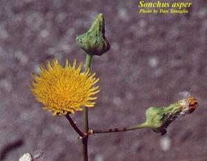 Sonchus asper