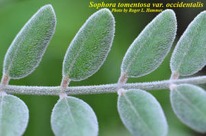 Sophora tomentosa var. occidentalis