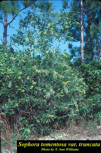 Sophora tomentosa var. truncata