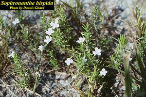 Sophronanthe hispida