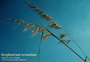 Sorghastrum secundum