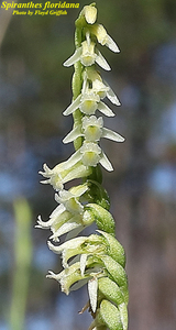 Spiranthes floridana