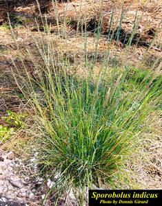 Sporobolus indicus