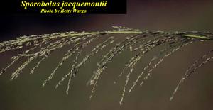 Sporobolus jacquemontii
