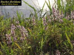 Stachys floridana