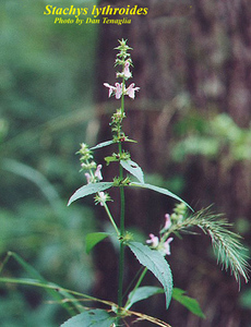 Stachys lythroides