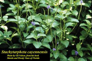 Stachytarpheta cayennensis