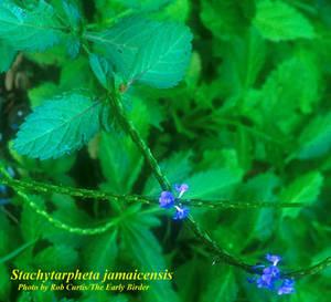 Stachytarpheta jamaicensis