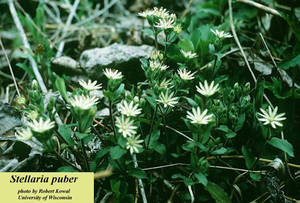 Stellaria puber