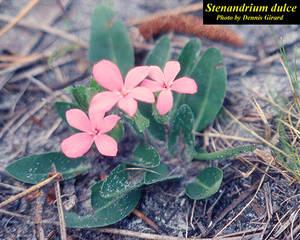 Stenandrium dulce