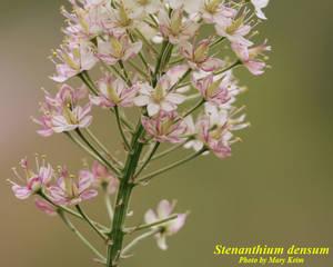 Stenanthium densum
