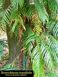 Stenochlaena tenuifolia