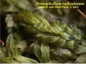 Stereophyllum radiculosum