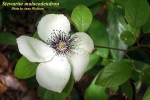 Stewartia malacodendron