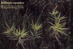 Stillingia aquatica