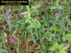 Strophostyles umbellata