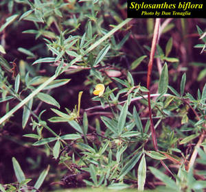Stylosanthes biflora