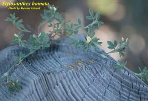 Stylosanthes hamata