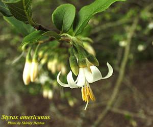 Styrax americanus