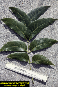 Swietenia macrophylla