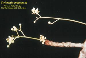 Swietenia mahagoni