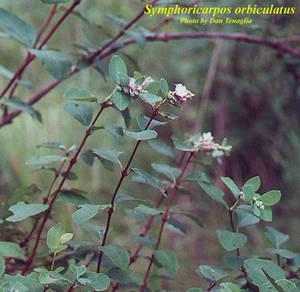Symphoricarpos orbiculatus