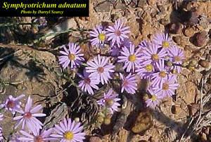 Symphyotrichum adnatum