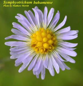 Symphyotrichum bahamense