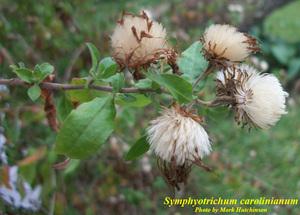 Symphyotrichum carolinianum