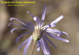 Symphyotrichum chapmanii