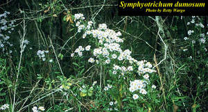 Symphyotrichum dumosum