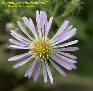 Symphyotrichum elliottii